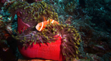 MV uw Feld Anemone Anemonenfisch Paar klein