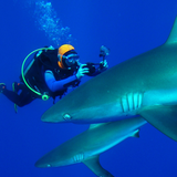 Sharks are not afraid from the bright orange colour of Seareq's Little Red Diving Hood