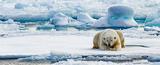 Eisbaer liegt auf Eisscholle geduldig auf das Auftauchen einer Robbe wartend