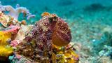 Lembeh Mototi Octopus